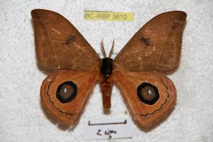 (Automeris parachacona - BC-RBP 3610)  @15 [ ] Copyright (2010) Ron Brechlin Research Collection of Ron Brechlin