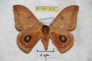 (Automeris fieldi cinctinicaraguana - BC-RBP 3618)  @14 [ ] Copyright (2010) Ron Brechlin Research Collection of Ron Brechlin