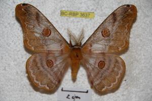 (Saturnia pelelaensis - BC-RBP 3637)  @15 [ ] Copyright (2010) Ron Brechlin Research Collection of Ron Brechlin