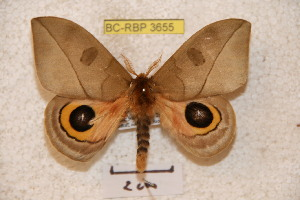 (Automeris tolimaiensis - BC-RBP 3655)  @15 [ ] Copyright (2010) Ron Brechlin Research Collection of Ron Brechlin
