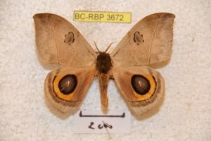 (Automeris sp - BC-RBP 3672)  @15 [ ] Copyright (2010) Ron Brechlin Research Collection of Ron Brechlin