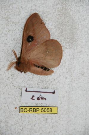 (Automeris zamorana - BC-RBP 5058)  @12 [ ] Copyright (2011) Ron Brechlin Research Collection of Ron Brechlin