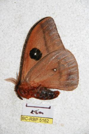 (Automeris jupachacona - BC-RBP 5162)  @12 [ ] Copyright (2011) Ron Brechlin Research Collection of Ron Brechlin