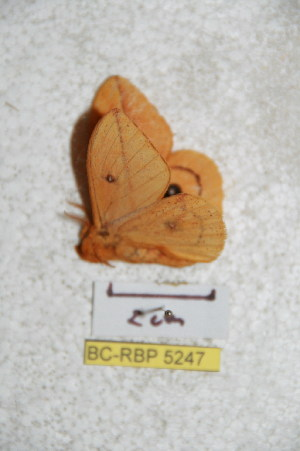 (Automeris unifasciatus - BC-RBP 5247)  @13 [ ] Copyright (2011) Ron Brechlin Research Collection of Ron Brechlin