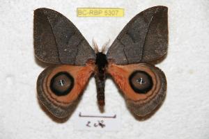(Automeris argentifera - BC-RBP 5307)  @14 [ ] Copyright (2010) Ron Brechlin Research Collection of Ron Brechlin