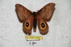 (Automeris pichichensis - BC-RBP 4386)  @13 [ ] Copyright (2010) Ron Brechlin Unspecified