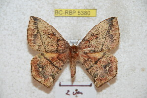 (Periga squamosa - BC-RBP 5380)  @14 [ ] Copyright (2010) Ron Brechlin Research Collection of Ron Brechlin