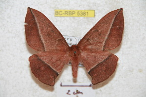 (Periga galbinexpectata - BC-RBP 5381)  @14 [ ] Copyright (2010) Ron Brechlin Research Collection of Ron Brechlin