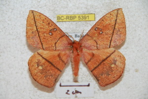 (Periga spatulata - BC-RBP 5391)  @14 [ ] Copyright (2010) Ron Brechlin Research Collection of Ron Brechlin