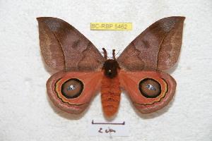 (Automeris oaxacensis - BC-RBP 5462)  @15 [ ] Copyright (2010) Ron Brechlin Research Collection of Ron Brechlin