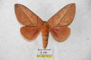 (Syssphinx ocellata - BC-RBP 5575)  @15 [ ] Copyright (2010) Ron Brechlin Research Collection of Ron Brechlin