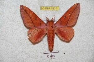 (Syssphinx centrizamorana - BC-RBP 5837)  @14 [ ] Copyright (2010) Ron Brechlin Research Collection of Ron Brechlin