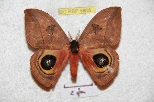 (Automeris zaruma - BC-RBP 5865)  @14 [ ] Copyright (2010) Ron Brechlin Research Collection of Ron Brechlin