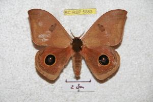 (Automeris midenapoensis - BC-RBP 5883)  @13 [ ] Copyright (2010) Ron Brechlin Research Collection of Ron Brechlin