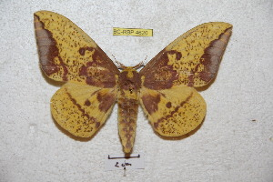 (Eacles imperialis decoris - BC-RBP 4620)  @15 [ ] Copyright (2010) Ron Brechlin Unspecified