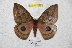 (Automeris alticola - BC-RBP 4686)  @13 [ ] Copyright (2010) Ron Brechlin Unspecified