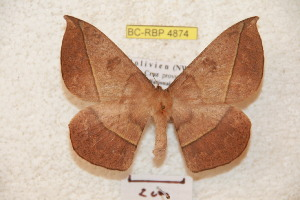 (Periga parviboliviana - BC-RBP 4874)  @15 [ ] Copyright (2010) Ron Brechlin Research Collection of Ron Brechlin