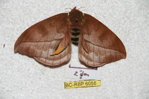 (Automeris tuxlana - BC-RBP 6058)  @13 [ ] Copyright (2010) Ron Brechlin Research Collection of Ron Brechlin