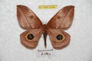 (Automeris wenczeli - BC-RBP 6094)  @15 [ ] Copyright (2010) Ron Brechlin Research Collection of Ron Brechlin