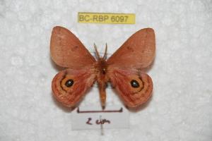 (Automeris mixthena - BC-RBP 6097)  @14 [ ] Copyright (2010) Ron Brechlin Research Collection of Ron Brechlin