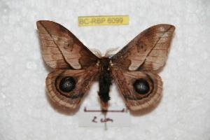 (Automeris nogueirai - BC-RBP 6099)  @14 [ ] Copyright (2010) Ron Brechlin Research Collection of Ron Brechlin