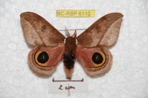 (Automeris zoziboucardi - BC-RBP 6110)  @14 [ ] Copyright (2010) Ron Brechlin Research Collection of Ron Brechlin