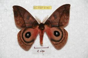 (Automeris windiana - BC-RBP 6140)  @14 [ ] Copyright (2010) Ron Brechlin Research Collection of Ron Brechlin
