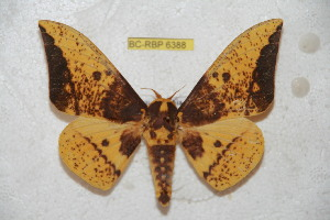 (Eacles imperialis magnifica - BC-RBP 6388)  @15 [ ] Copyright (2012) Ron Brechlin Research Collection of Ron Brechlin
