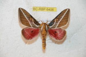 (Syssphinx albolineata - BC-RBP 6406)  @14 [ ] Copyright (2012) Ron Brechlin Research Collection of Ron Brechlin