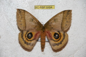 (Automeris petrovae - BC-RBP 6494)  @13 [ ] Copyright (2012) Ron Brechlin Research Collection of Ron Brechlin
