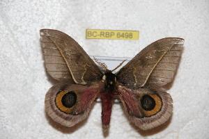 (Automeris sandimasiana - BC-RBP 6498)  @14 [ ] Copyright (2012) Ron Brechlin Research Collection of Ron Brechlin