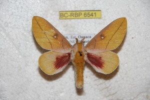 (Syssphinx modmexicana - BC-RBP 6541)  @13 [ ] Copyright (2012) Ron Brechlin Research Collection of Ron Brechlin