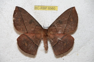 (Periga calabazana - BC-RBP 6560)  @14 [ ] Copyright (2012) Ron Brechlin Research Collection of Ron Brechlin