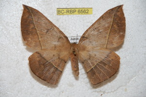 (Periga mariposana - BC-RBP 6562)  @15 [ ] Copyright (2012) Ron Brechlin Research Collection of Ron Brechlin