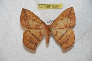 (Periga camacana - BC-RBP 6567)  @12 [ ] Copyright (2012) Ron Brechlin Research Collection of Ron Brechlin