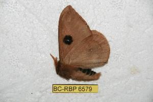 (Automeris pinasi - BC-RBP 6579)  @12 [ ] Copyright (2012) Ron Brechlin Research Collection of Ron Brechlin