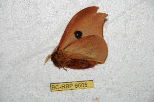 (Automeris elcearaiana - BC-RBP 6605)  @12 [ ] Copyright (2012) Ron Brechlin Research Collection of Ron Brechlin