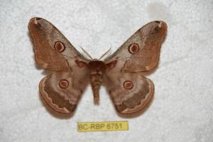 (Saturnia algisrimasi - BC-RBP 6751)  @15 [ ] Copyright (2012) Ron Brechlin Research Collection of Ron Brechlin