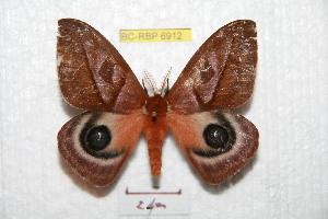 (Automeris cryptica - BC-RBP 6912)  @14 [ ] Copyright (2012) Ron Brechlin Research Collection of Ron Brechlin
