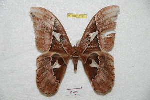 (Rothschildia orizaba orizaba - BC-RBP 7031)  @13 [ ] Copyright (2012) Ron Brechlin Research Collection of Ron Brechlin