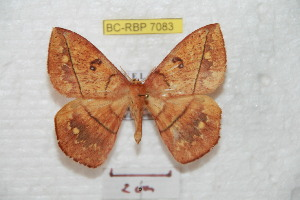 (Periga lichyi - BC-RBP 7083)  @15 [ ] Copyright (2012) Ron Brechlin Research Collection of Ron Brechlin