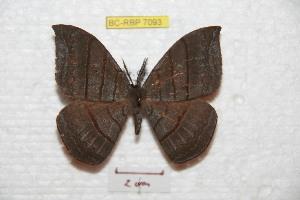 (Cercophaninae - BC-RBP 7093)  @15 [ ] Copyright (2012) Ron Brechlin Research Collection of Ron Brechlin