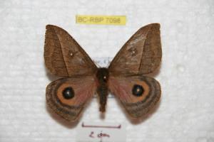 (Automeris sachai - BC-RBP 7098)  @14 [ ] Copyright (2012) Ron Brechlin Research Collection of Ron Brechlin