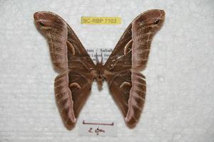 (Samia borneensis - BC-RBP 7103)  @14 [ ] Copyright (2012) Ron Brechlin Research Collection of Ron Brechlin