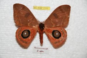 (Automeris pinasiana - BC-RBP 7111)  @15 [ ] Copyright (2012) Ron Brechlin Research Collection of Ron Brechlin
