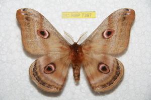 (Saturnia florianii - BC-RBP 7397)  @15 [ ] Copyright (2013) Ron Brechlin Research Collection of Ron Brechlin