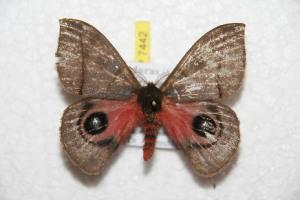 (Automeris lempirensis - BC-RBP 7442)  @13 [ ] Copyright (2013) Ron Brechlin Research Collection of Ron Brechlin