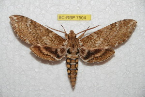(Manduca afflicta - BC-RBP 7504)  @11 [ ] Copyright (2013) Ron Brechlin Research Collection of Ron Brechlin