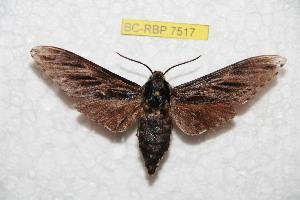 (Sphinx formosana - BC-RBP 7517)  @11 [ ] Copyright (2013) Ron Brechlin Research Collection of Ron Brechlin