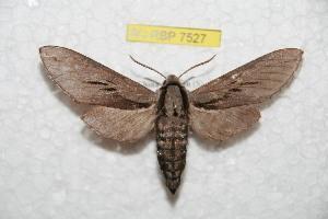 (Sphinx yunnana - BC-RBP 7527)  @14 [ ] Copyright (2013) Ron Brechlin Research Collection of Ron Brechlin